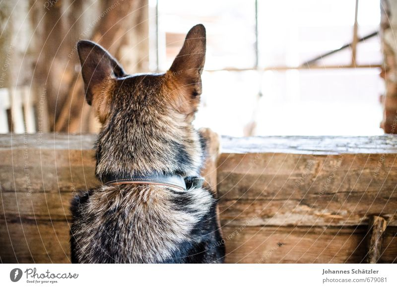 Keep your ears up! Agriculture Forestry Village Hut Animal Pet Farm animal Dog 1 Wood Observe Listening Looking Brown Black Patient Curiosity Interest Discover