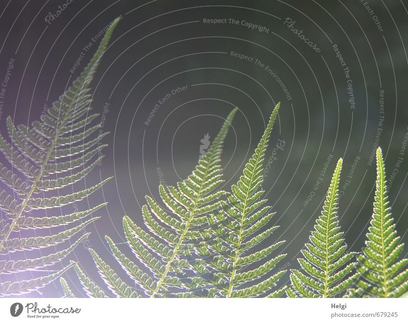 Fern in the light... Environment Nature Plant Summer Beautiful weather Leaf Foliage plant Illuminate Growth Esthetic Exceptional Natural Gray Green Moody Calm