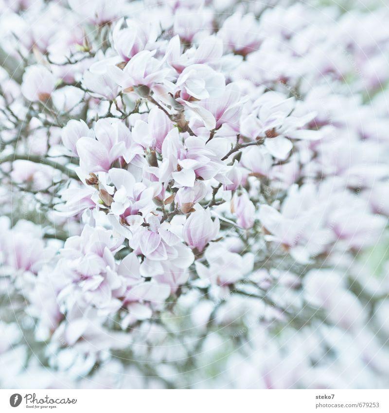 Spring in abundance Plant Tree Blossom Magnolia tree Magnolia blossom Blossoming Bright Pink White Lush Narrow Splendid Subdued colour Exterior shot Deserted