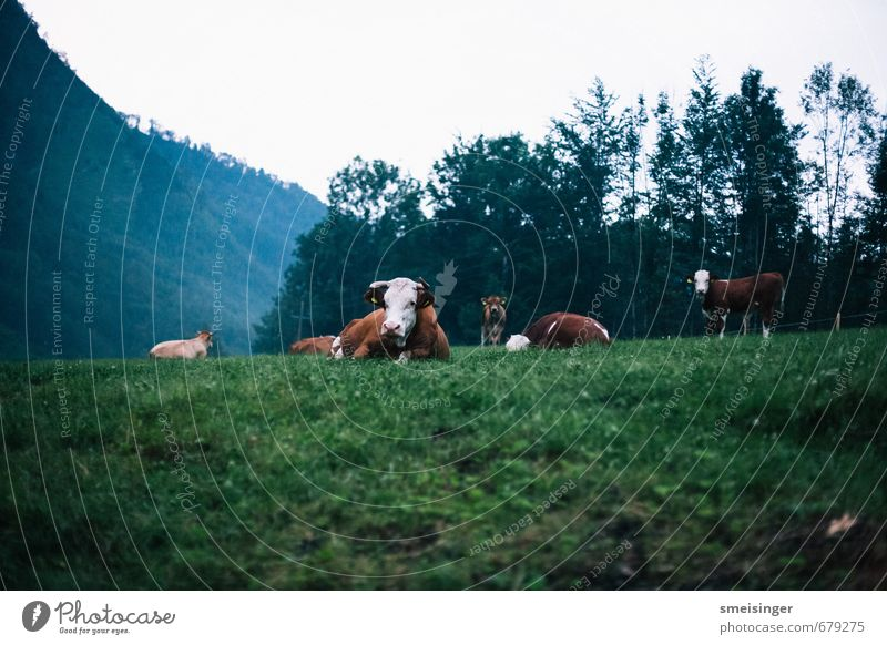 Kuh im Morgengrauen Nature Relaxation Animal Mountain Environment Grass Lie Together Field Free Hiking Group of animals Friendliness Alps Agriculture Pasture