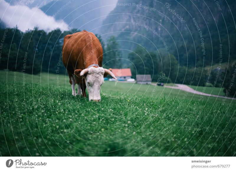 Kuh wieder Mountain Hiking Nature Grass Alps Animal Farm animal Cow 1 Eating To feed Feeding Blue Brown Green Serene Peace Idyll Rural Heidi Agriculture Cattle