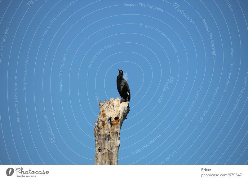 cormorant Nature Air Sky Cloudless sky Beautiful weather Tree Animal Wild animal Bird Wing Cormorant black bird waterfowl fish-eaters curved beak 1 Crouch Sit