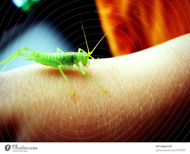 lionheart Dryland grasshopper T-shirt Hop Jump Insect Feeler Child's arm Disgust False dennis hopper Arm Hair and hairstyles Skin Orange Blue Sit long legs