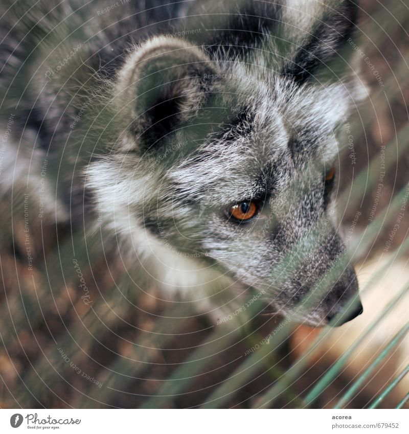 captive Animal Wild animal Zoo 1 Observe Looking Curiosity Gray Love of animals Grating Fence Wolf Eyes Colour photo Exterior shot Close-up Deserted Day