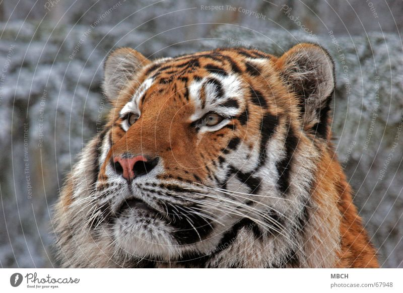 Fascinated Tiger Animal Cat Big cat Black White Pelt Pattern Stripe Orange Observe Looking Ear Eyes Nose Snow Wild animal