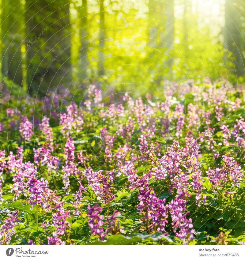 spring sunrays Environment Nature Plant Spring Beautiful weather Tree Flower Blossom Wild plant corydalis Flowering plant Forest Breathe Blossoming Fragrance