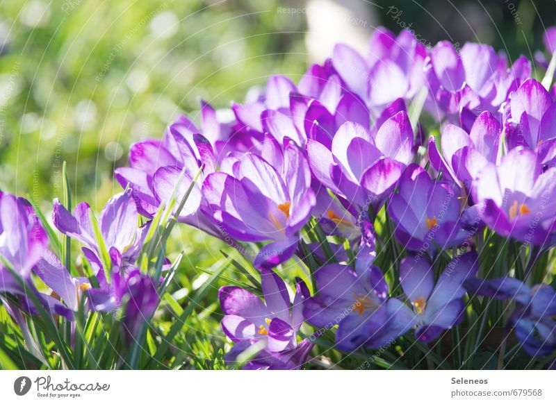 closed society Environment Nature Plant Spring Beautiful weather Flower Grass Leaf Blossom Crocus Garden Park Meadow Blossoming Violet Spring flower