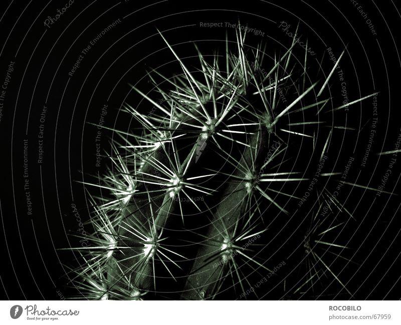 Echinocereus triglochidiatus Cactus Plant Dark Thorn Thorny Pierce Black & white photo prick Point