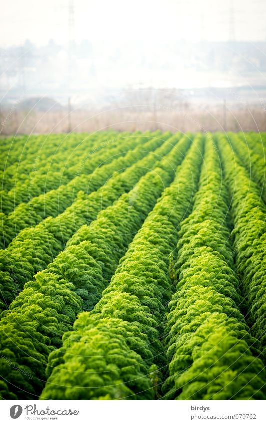curly kale Kale Nutrition Agriculture Market garden Foliage plant Agricultural crop Field Growth Esthetic Fragrance Sustainability Green Luxury Many Row