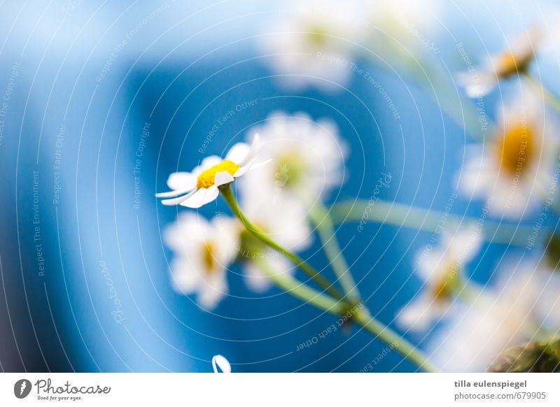 Nature Blue Colour Plant Flower Natural Wild Fresh Delicate Bouquet Stalk Fragile Spring flower Camomile blossom