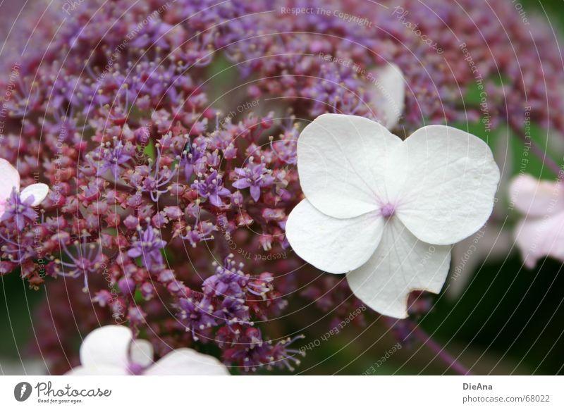 Nature White Summer Plant Flower Blossom Violet Perfect Error August Hydrangea