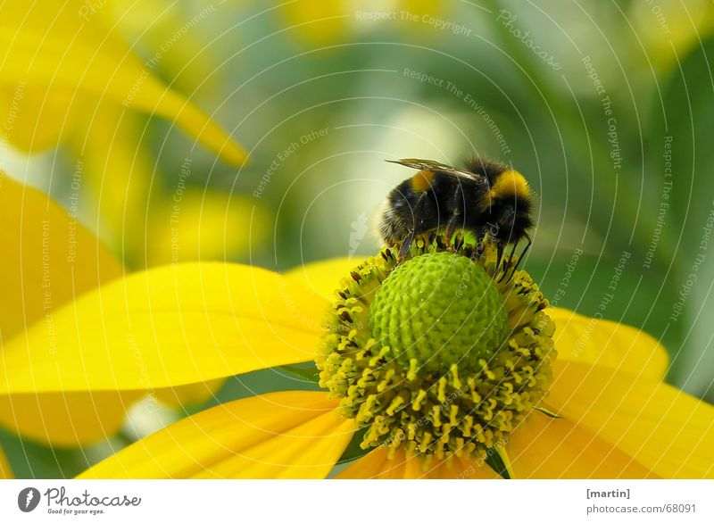 Bumblebee (Bombus) Exterior shot Sprinkle Bee Flower Blossom Pollen Close-up Multicoloured Happiness Yellow Green Bumble bee Insect Crawl Light