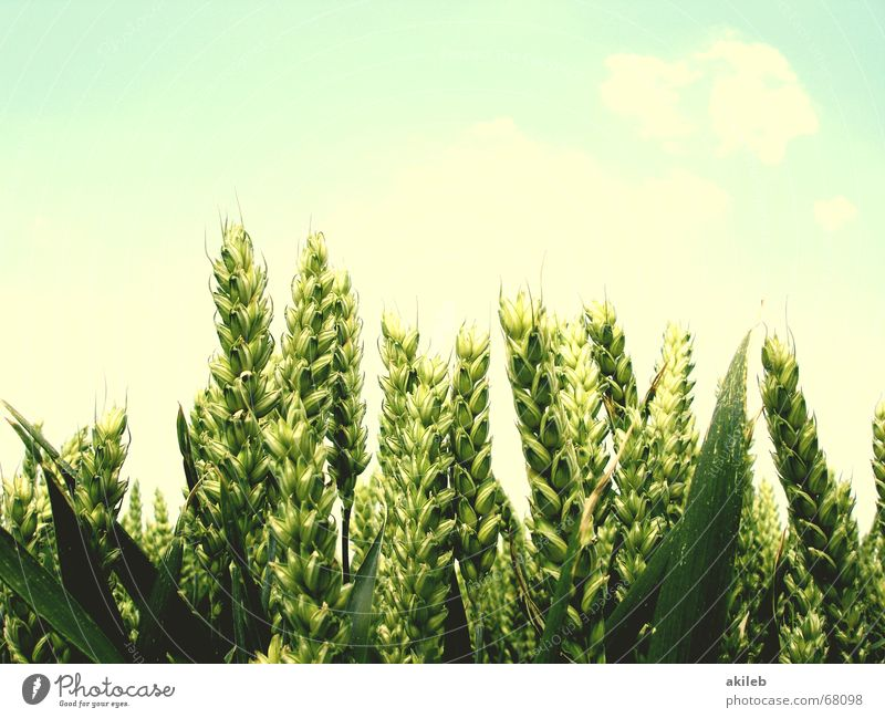Sky Green Blue Summer Calm Yellow Relaxation Bright Field Wind Weather Hope Grain Agriculture Grain Pallid