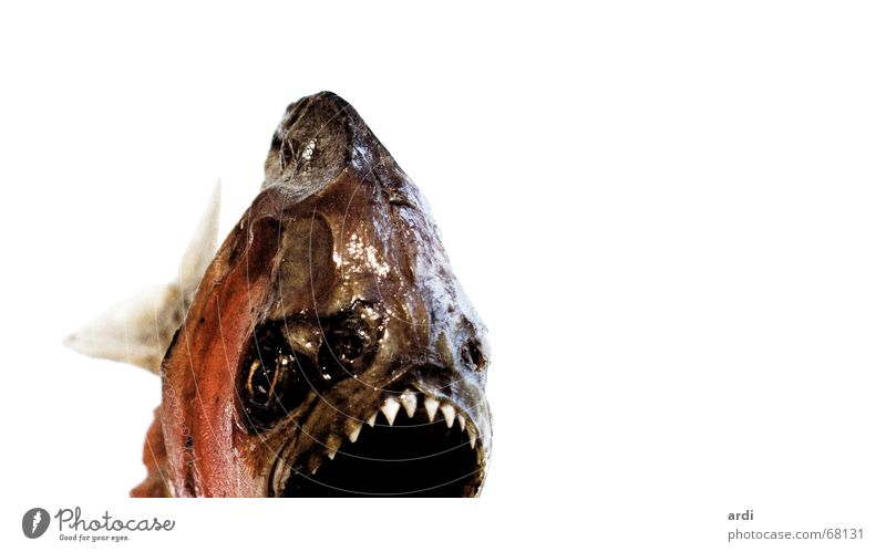 Piran-ha Piranha Dandruff Dangerous Animal Fish Water wings Set of teeth Threat Caution fin fins scale scales tooth danger sharp attention ardi Sharp thing