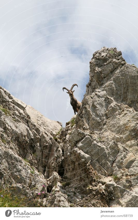 The buck. Buck Switzerland Animal Capricorn Goats Gravel Mountain