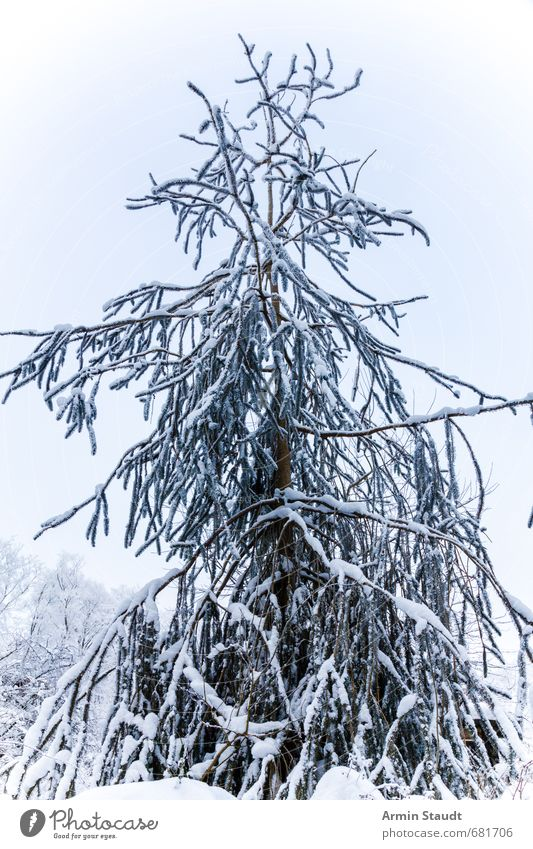 oh fir tree Calm Winter Snow Environment Nature Sky Beautiful weather Tree Forest Fresh Cold Natural White Moody Colour photo Exterior shot Detail Deserted Day