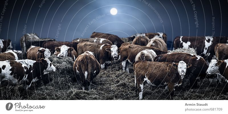 Winter cows Environment Nature Sun Moon Bad weather Fog Ice Frost Straw Field Farm animal Cow Herd Touch Stand Dark Cold Blue Moody Protection Indifferent