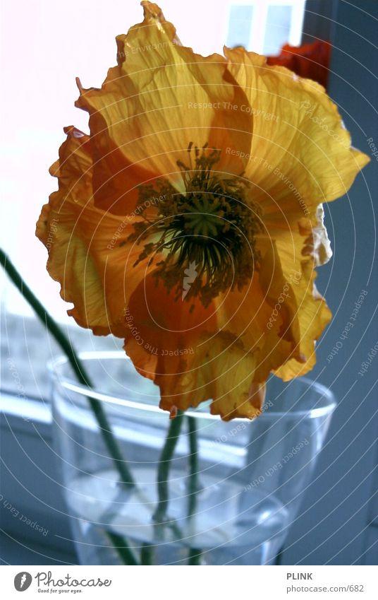 tulip Flower Tulip