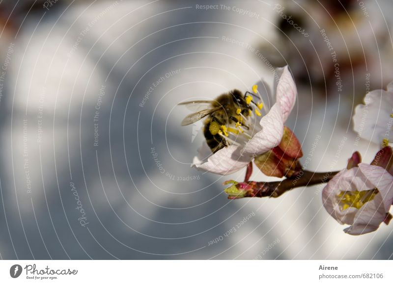 of bees and flowers... Nature Plant Animal Spring Beautiful weather Tree Blossom tree blossom apricot blossom Apricot tree Fruit trees Garden Farm animal Bee