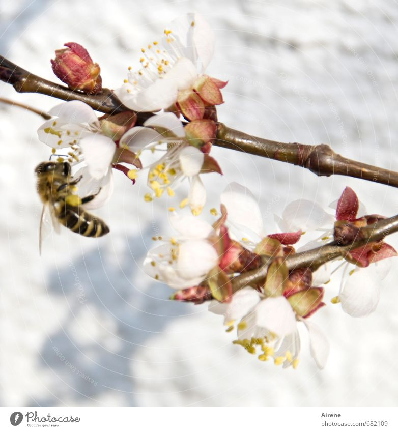 White Plant Animal Warmth Spring Blossom Small Pink Work and employment Flying Blossoming Twig Bee Fragrance Crawl Farm animal