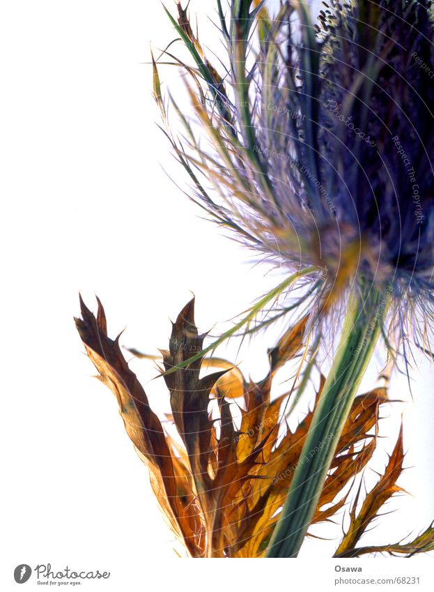 White Flower Green Blue Plant Blossom Brown Dried Thistle Light table