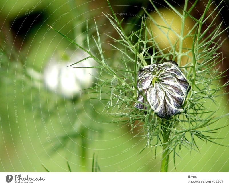 But once I get out of myself... Flower Green Delicate Fragile Wrinkles Thorny 2 Love-in-a-mist Velvet Velvety Sack Boast Transience unwieldy Caution fossil