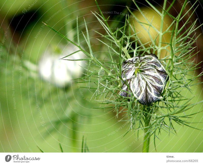 Flower Green Garden Transience Delicate Fragile Thorny Sack Velvet Boast Velvety Love-in-a-mist