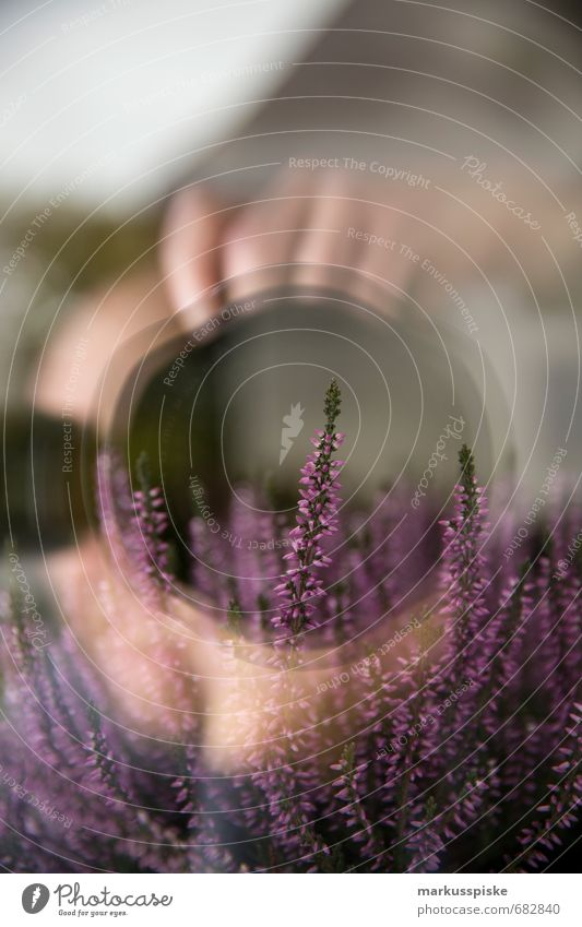 lavender Camera Objective Human being Masculine Man Adults Hand Plant Animal narrow-leaved Lavender lavandula Flower Bud Leaf House (Residential Structure)