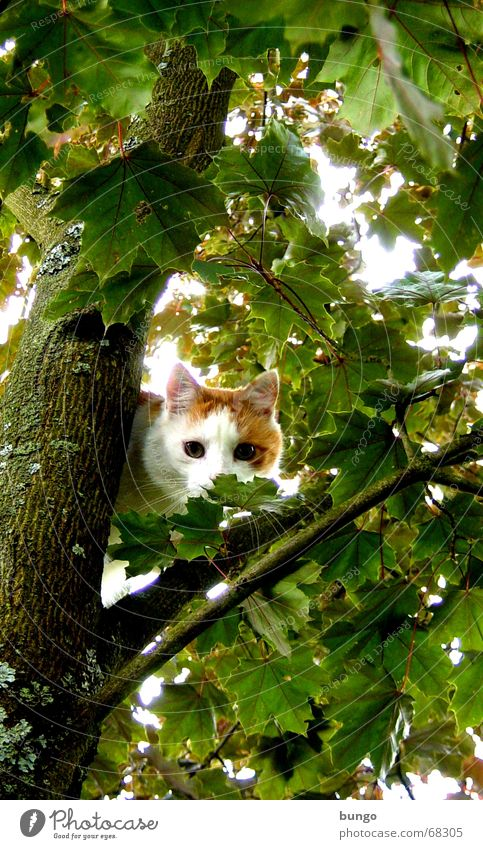 aestas libertas est Cat Pet Tree Maple tree Leaf Green Tree bark Wood Wood flour Pelt Fear Summer Playing Safety Mammal Domestic cat blood maple leaves Branch