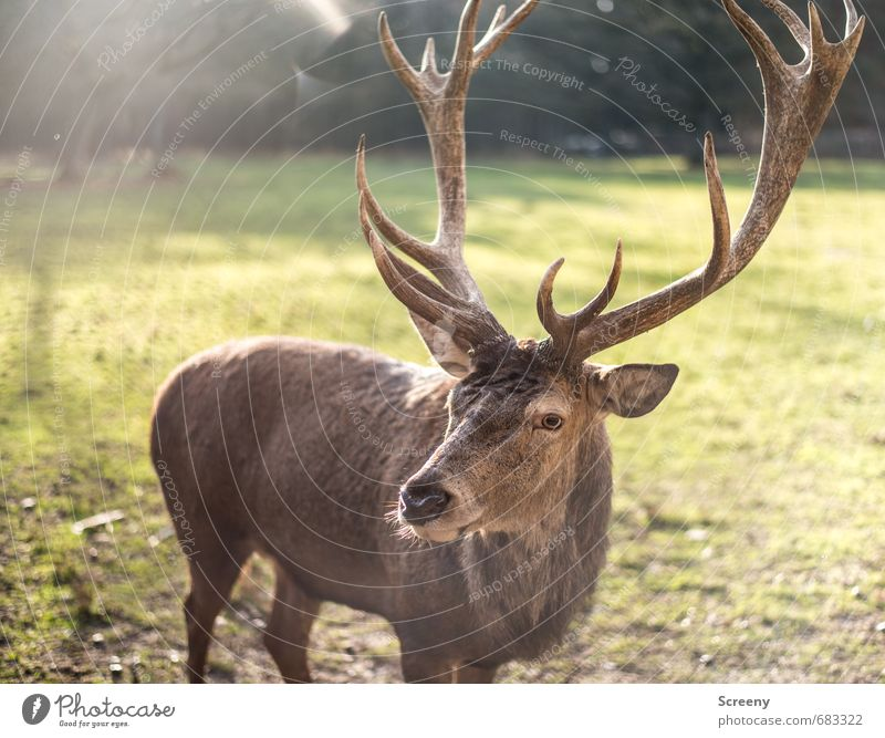 Nature Green Plant Calm Animal Forest Eyes Meadow Grass Brown Wild Wild animal Observe Watchfulness Antlers Deer