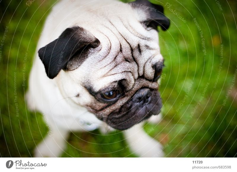 Theo Grass Animal Pet Dog Animal face Pelt 1 Baby animal To feed Looking Sit Sadness Wait Happy Cuddly Small Soft Sympathy Love of animals Pug best friend Beg