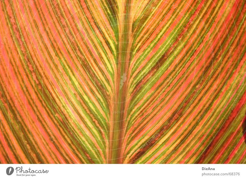 Green Plant Red Summer Leaf Yellow Line Lighting Orange Pink Stripe August Indian shoot