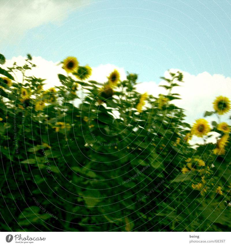 Sky Summer Joy Blossom Laughter Field Flower Blossoming Harvest Grain Sunflower Agriculture Seed Sunflower oil