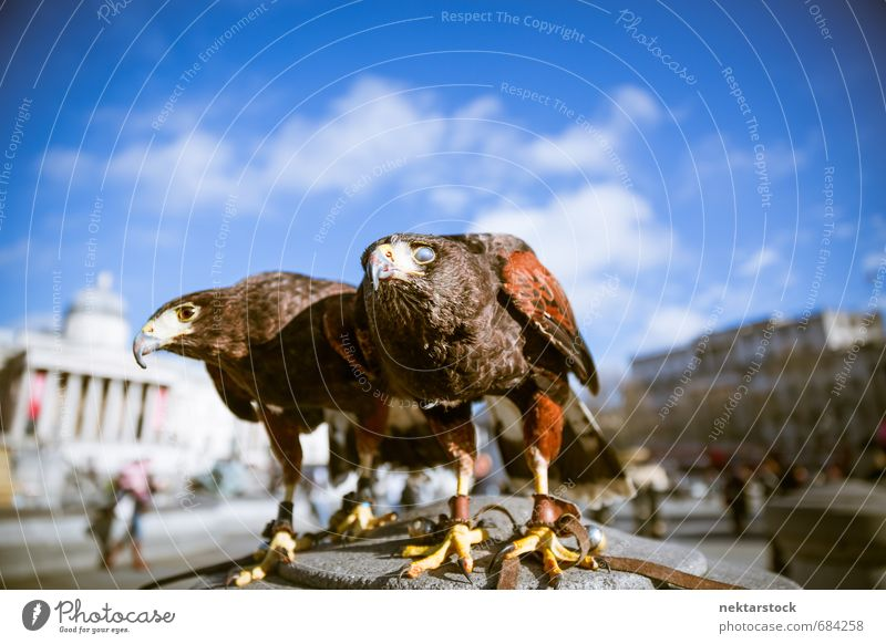 Majestic Eagles in London Architecture Nature Sky Trafalgar Square Great Britain Town Capital city Downtown Facade Tourist Attraction Animal Wild animal Bird 2
