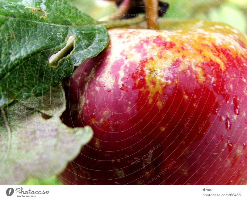 After The Rain Fruit Apple Healthy Garden Plant Water Delicious Fatigue Reddish green plump red and green fresh damaged Colour photo Exterior shot Close-up