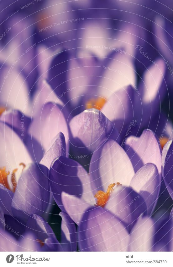 spring light Environment Nature Plant Spring Weather Beautiful weather Flower Blossom Crocus Violet Orange Transience Growth Colour photo Exterior shot Close-up