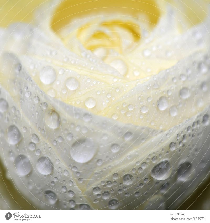 Plant Water White Flower Sadness Blossom Spring Rain Drops of water Wet Romance Rope Wedding Grief Bud Dew