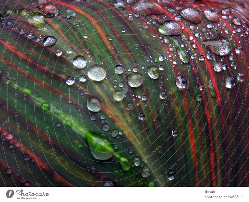 Beads on Canna Indica Plant Green Red Stripe Drops of water Rain Fresh Wet Damp Glittering Leaf Stalk Growth Botany Line Cast Nature Macro (Extreme close-up)