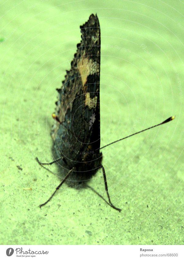 Animal Legs Wait Sit Break Wing Insect Observe Butterfly Feeler Peacock butterfly