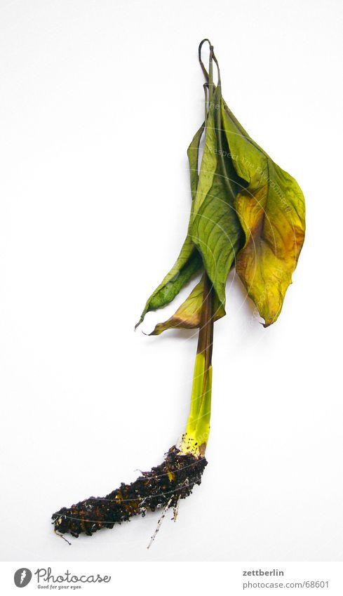 No hope Plant Leaf Field hockey Stalk Root Foliage plant Isolated Image Hockey stick Limp Yellowed Run away
