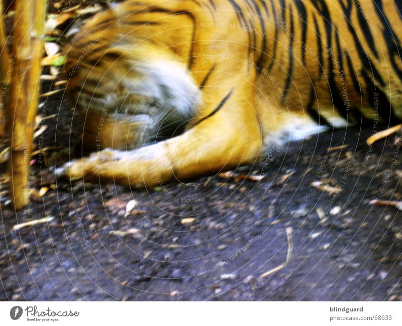 over Tiger Zoo Captured To feed Stripe Black White Feeding Public service bus Land-based carnivore Big cat Wild cat Asia Virgin forest Appetite Orange Movement