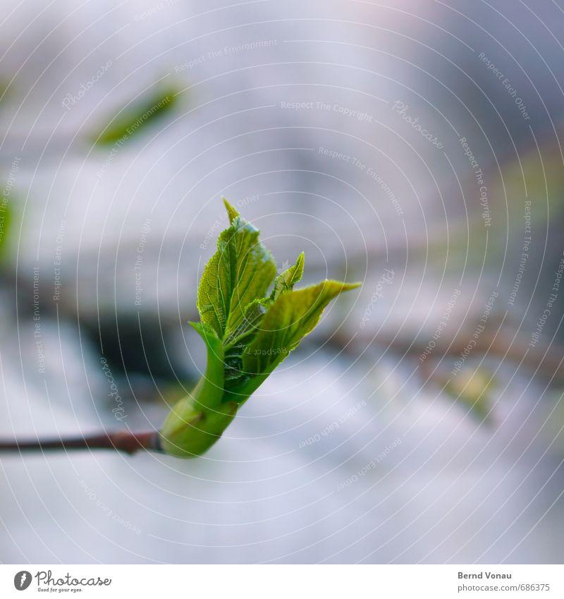 Nature Blue Green Plant Leaf Black Spring Growth Beginning New Twig Upward Positive Leaf bud Rachis