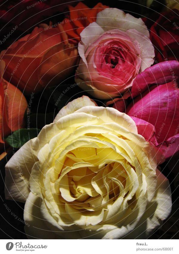 Flower Multicoloured Joy Colour Blossom Living or residing Rose Romance Blossoming Bouquet Neighbor Perfect Gaudy Emotions Fragrant
