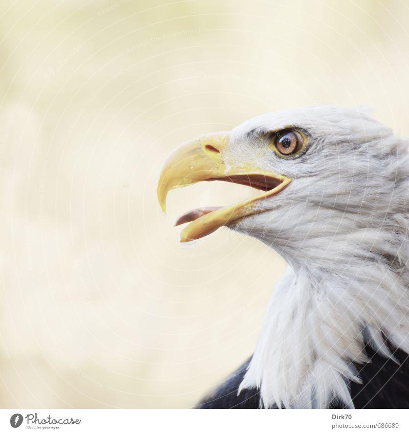 Proud and beautiful Nature Animal Sunlight Wild animal Bird Animal face Eagle Bald eagle White-tailed eagle Animal portrait Profile Beak 1 Observe Threat Strong