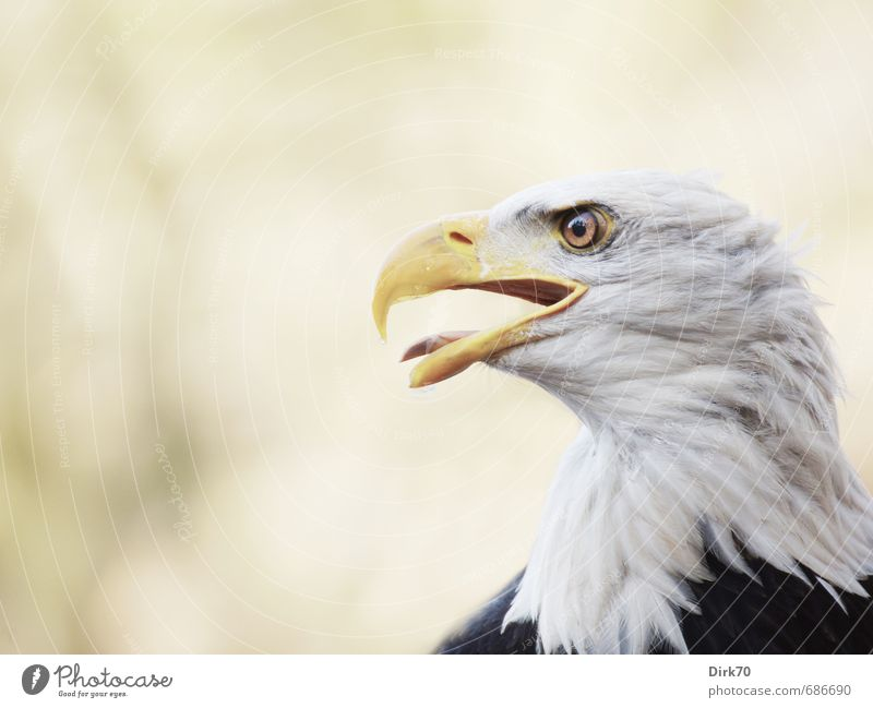 Show tongue! Animal Wild animal Bird Bird of prey Eagle Bald eagle White-tailed eagle 1 Sign heraldic bird Observe Hunting Aggression Threat Brown Yellow Black
