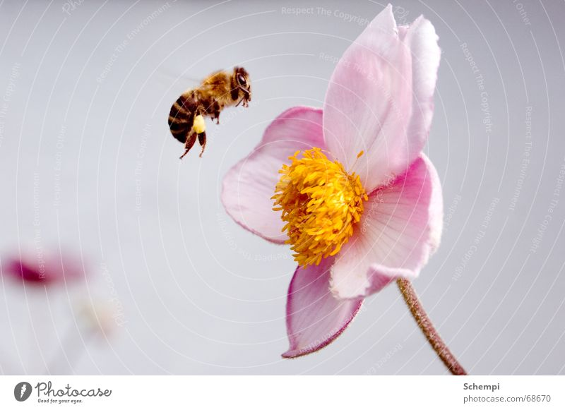 Attack! Bee Insect Flower Spring Summer Stamen Diligent Honey Nectar
