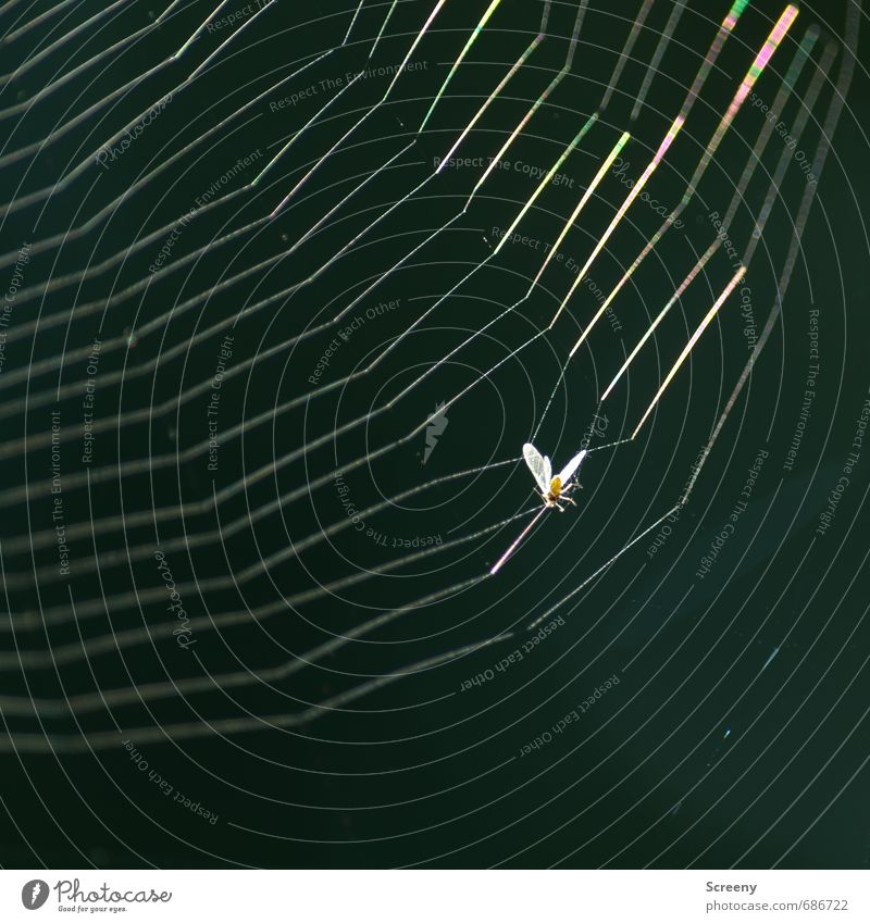 Catch me, if you... damn!!! Nature Animal Insect 1 Net Hang Threat Glittering End Death Survive Distress Spider's web Sticky Captured Colour photo Exterior shot
