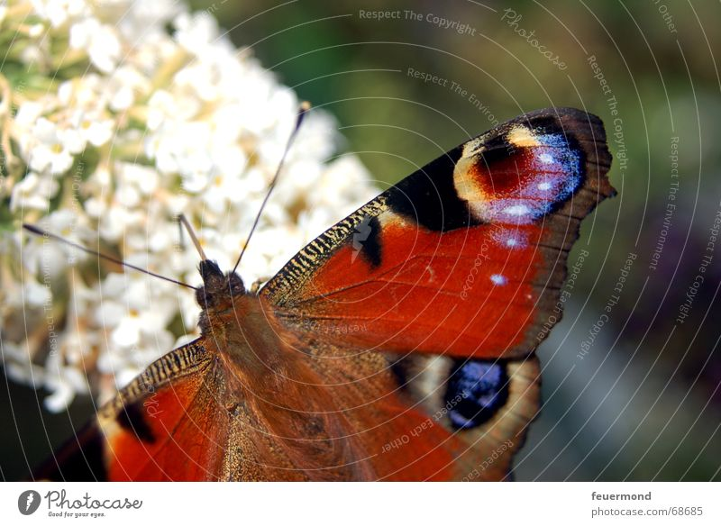 The peacock with the eye. Peacock butterfly Noble butterfly Butterfly Flower Blossom Summer Animal Feeler Small Graceful Multicoloured butterfly tree Sun Wing