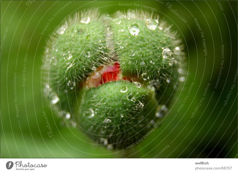 Nature Flower Green Nutrition Rain Funny Drops of water Wet Poppy Bud