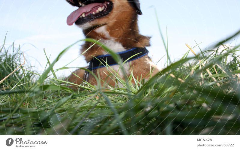 Margaret Dog Grass Green Exhaustion Meadow Break Tongue